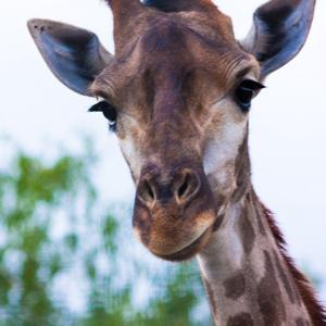Жирафик.