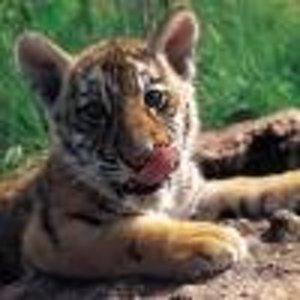 Beby-Tiger