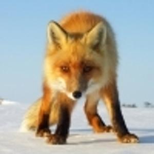 Siberian_Fox