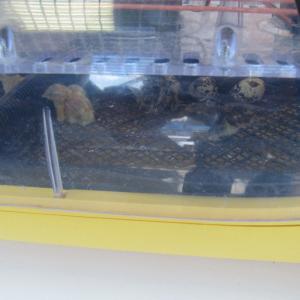 инкубатор с птенцами