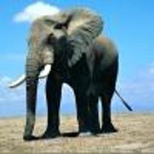 Slonoblume
