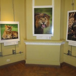 """Левое фото называется """"Мечтатель"""" - на нём молодой лев с таким действительно мечтательным выражением"""