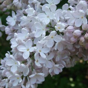 Вот такая шикарная сирень цветёт сейчас в сирингарии в Ботаническом саду)