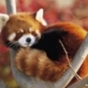 PandaKopanda